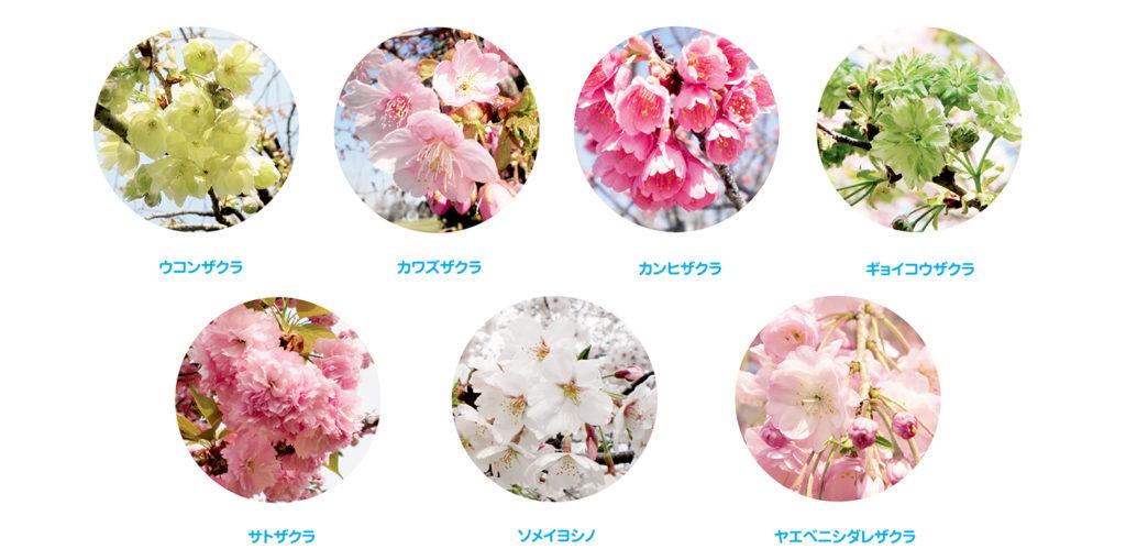 桜の開花情報2